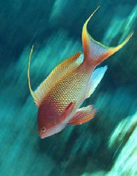 Anthias was taken using slow shutter speed and by &quot;pannin... by Nikki Van Veelen 